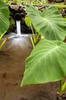 Hawaii, Maui, Large Taro Leaves In A Pond