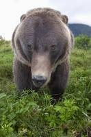 Wide-Angle View Of A Brown Bear, Southcentral Alas