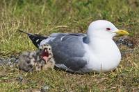 Hatching Mew Gull Yawns While It Sits Next To Its
