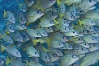 Hawaii, School Of Bluestripe Snapper
