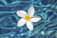 Plumeria Flower Floating In Clear Blue Water