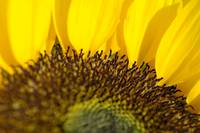 Sunflower, Extreme close-up of center and yellow p