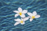 Plumeria Flowers Floating In Clear Blue Water