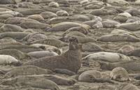 Male Elephant Seal Barking Amidst A Throng Of Fema