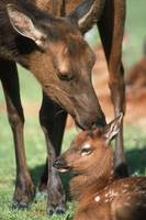 Cow Elk Tending To Its Calf, Southcentral Alaska