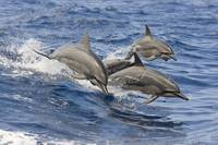 Hawaii, Spinner Dolphins