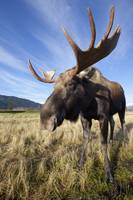 A Wide-Angle Close-Up View Of A Bull Moose, Southc
