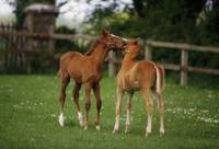 Thoroughbred Foal, Ireland