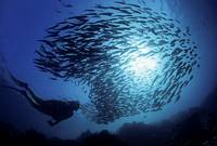 Galapagos Islands, Diver And Schooling Black Strip
