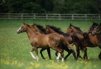 Thoroughbred Horses, Ireland