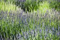 Lavender, Many Sprigs Growing In Field