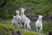 Three Adult Dall Sheep Ewes With One Lamb, Chugach