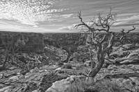 Black And White Image Of Tree On Canyon De Chelley