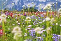 Wildflowers In A Meadow In Mt. Rainier National Pa
