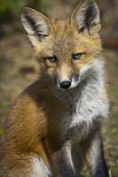 Red Fox Kit Looks At Camera From Near Its Den On T