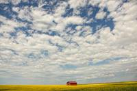 Abandoned Red Barn In The Midst Of A Canola Field,