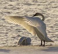 Swan Fanning Its Wings On The Ice Along The Tagish