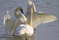 Swan Spreading And Stretching Wings, Yukon, Canada