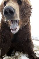 Close Up Of A Brown Bear With Mouth Open, Wildlife