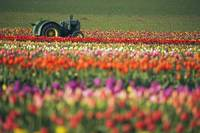 Tractor In Tulip Field