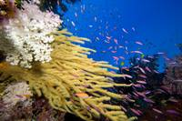 Fiji, Alconarian And Gorgonian Coral Dominate This