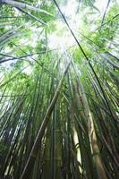 Hawaii, Maui, Hana, A Path Through Green Bamboo