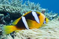 Fiji, Orange-Fin Anemonefish