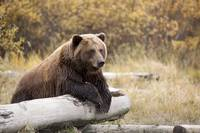 Adult Brown Bear Rests On A Log At The Wildlife Co