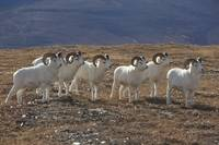 A Band Of Dall Sheep Rams In A High Mountain Meado