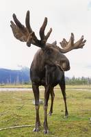Bull Moose At The Alaska Wildlife Conservation Cen