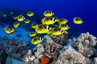 Hawaii, Schooling Raccoon Butterflyfish
