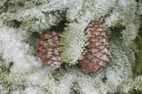 Frost On Pine Cones