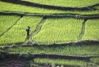 Farmer In Rice Paddy, Elevated View, Vietnam
