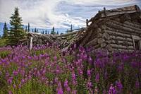 Old Trappers Cabin Surrounded By Fireweed At Silve