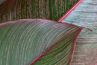 Detailed View Of A Heliconia Indica Leaf, Green Wi