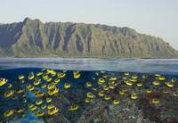 Hawaii, Oahu, A School Of Racoon Butterflyfish Alo