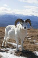 Dall Sheep Ram Stands On Tundra, Denali National P