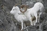 Dall Ram And Ewe, Chugach Mountains In Southcentra