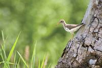 Spotted Sandpiper On A Tree Trunk