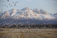 A Large Flock Of Snow Geese Take Off From A Field,