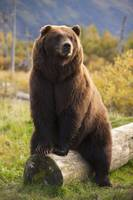 A Large Brown Bear Sits On A Log At The Alaska Wil