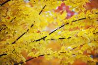 Yellow Leaves On A Tree In Autumn, Oregon