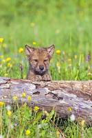 Young Wolf Cub Peering Over Log