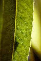Close-Up Of Green Leaf, Detail Of Veins