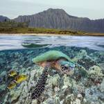 """Hawaii, Oahu, A Hawksbill Turtle And Raccoon Butte"" by DesignPics"