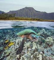 Hawaii, Oahu, A Hawksbill Turtle And Raccoon Butte