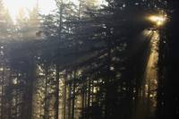 Sun Shining Through The Trees And Fog, Oregon Casc