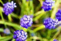 Grape Hyacinths, View From Above Of Purple Flowers