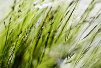 Green Ornamental Grass