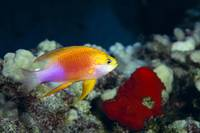 Hawaii, Fairy Anthias